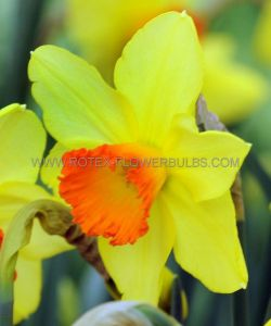 NARCISSUS LARGE CUPPED 'RED DEVON' 14-16 (50 P.BINBOX)