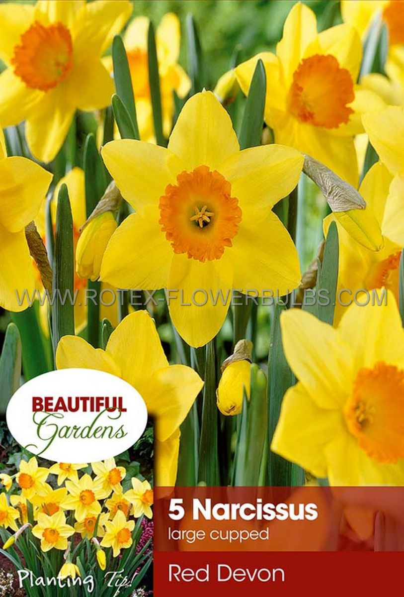 narcissus large cupped red devon 1416 8 pkgsx 5