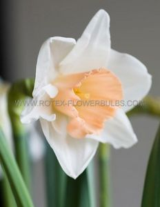 NARCISSUS LARGE CUPPED 'SALOME' 12-14 (300 P.PLASTIC TRAY)