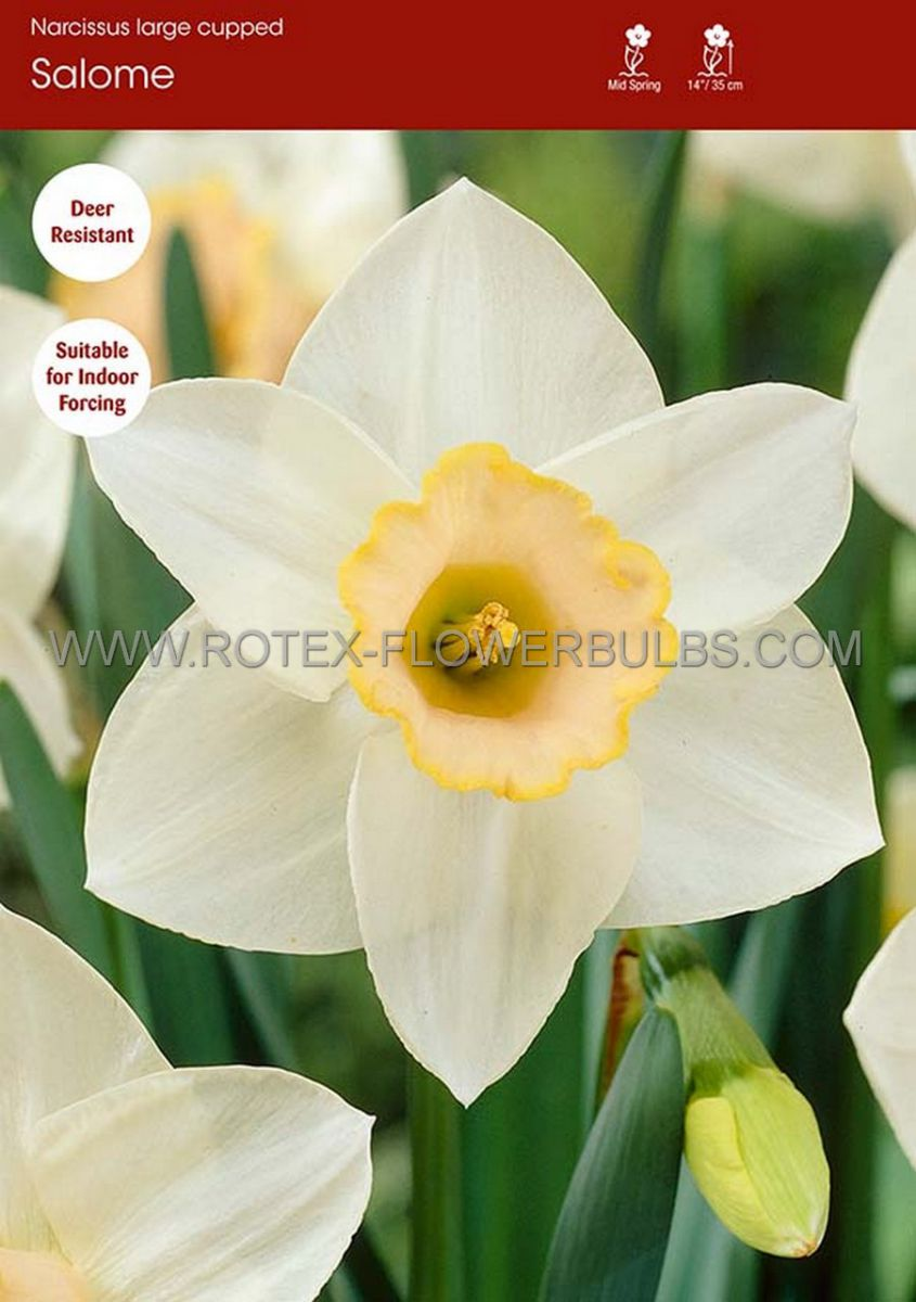 narcissus large cupped salome 1416 8 pkgsx 5