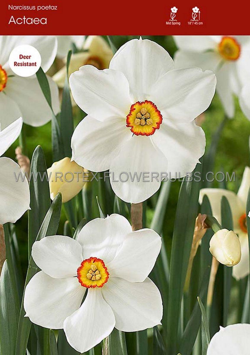 narcissus poetaz actaea 1416 50 pbinbox