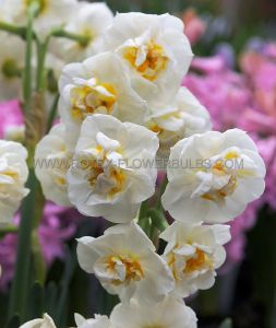 NARCISSUS POETAZ 'BRIDAL CROWN' 14-16 (50 P.BINBOX)