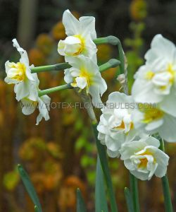 NARCISSUS POETAZ 'CHEERFULNESS' 14-16 (200 P.PLASTIC TRAY)