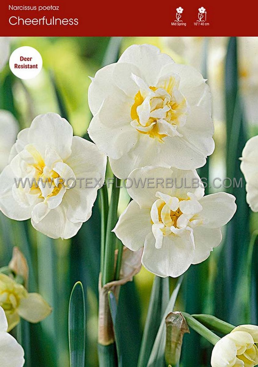 narcissus poetaz cheerfulness 1416 8 pkgsx 5