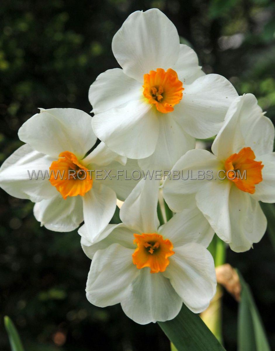 narcissus poetaz geranium 1416 50 pbinbox