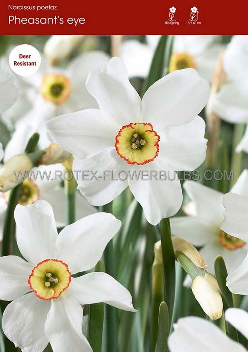 narcissus poetaz recurvus pheasants eye 1416 50 pbinbox