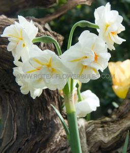 NARCISSUS POETAZ 'SIR WINSTON CHURCHILL' 14-16 (8 PKGS.X 5)