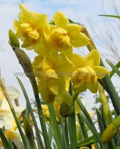 NARCISSUS POETAZ 'YELLOW CHEERFULNESS' 12-14 (300 P.PLASTIC TRAY)