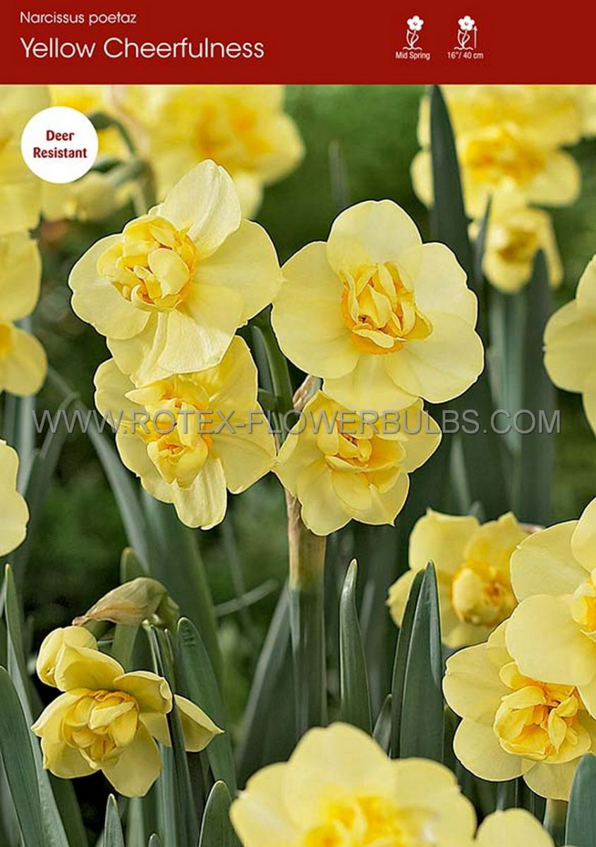 narcissus poetaz yellow cheerfulness 1416 50 pbinbox