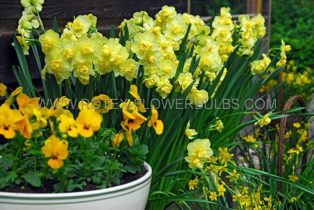 narcissus poetaz yellow cheerfulness 1416 8 pkgsx 5