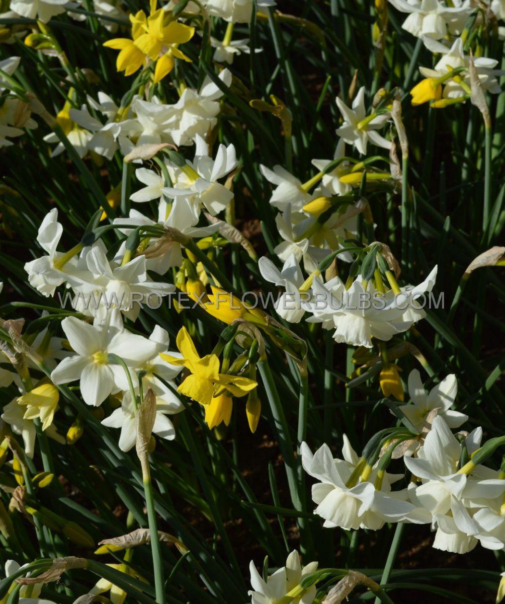 narcissus triandrus sensation mix 1214 300 pplastic tray