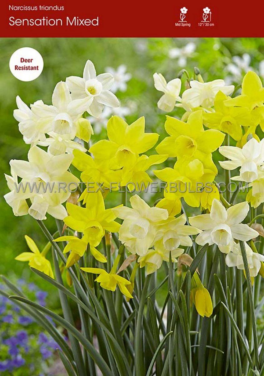 narcissus triandrus sensation mix 1416 cm 50 pbinbox