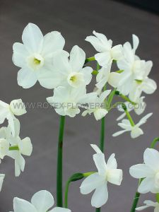 NARCISSUS TRIANDRUS 'STARLIGHT SENSATION' 12-14 (300 P.PLASTIC TRAY)