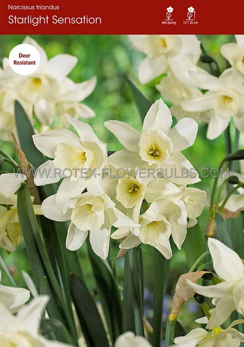 narcissus triandrus starlight sensation 1214 300 pplastic tray