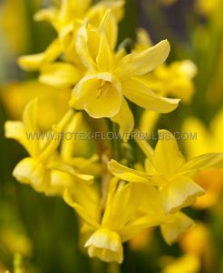 NARCISSUS TRIANDRUS 'SUNLIGHT SENSATION' 12-14 (300 P.PLASTIC TRAY)