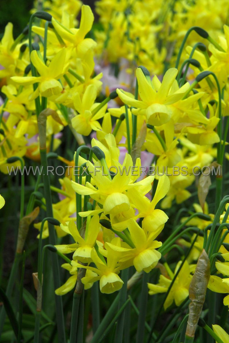 narcissus triandrus sunlight sensation 1416 cm 50 pbinbox
