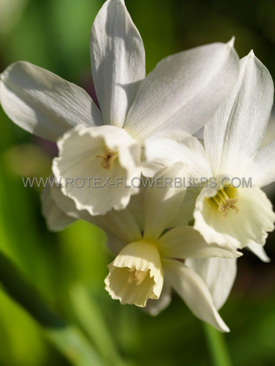 narcissus triandrus thalia 1416 cm 50 pbinbox