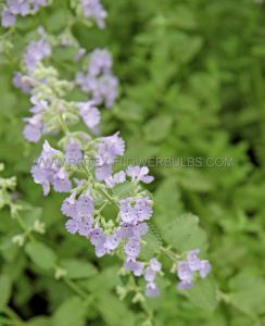 NEPETA (CATSWORT) FAASSENII 'WALKER'S LOW' I (25 P.BAG)