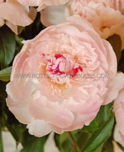 PAEONIA DOUBLE 'ALERTIE' 3/5 EYE (25 P.BAG)