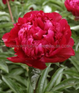 PAEONIA DOUBLE 'BIG BEN' 3/5 EYE (25 P.BAG)