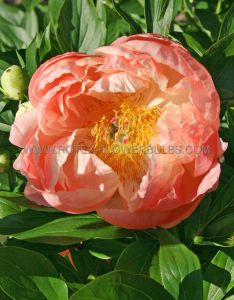 PAEONIA DOUBLE 'CORAL CHARM' 2/3 EYE (25 P.BAG)