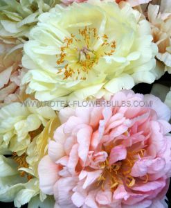 PAEONIA DOUBLE 'CORAL SUNSET' 2/3 EYE (25 P.BAG)