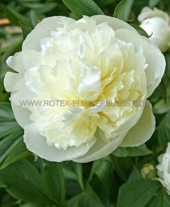 PAEONIA DOUBLE 'DUCHESSE DE NEMOURS' 3/5 EYE (25 P.BAG)