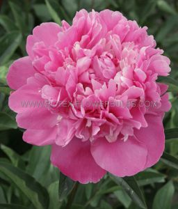 PAEONIA DOUBLE 'EDULIS SUPERBA' 3/5 EYE (25 P.BAG)