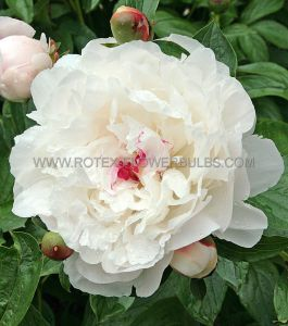PAEONIA DOUBLE 'FESTIVA MAXIMA' 2/3 EYE (25 P.OPEN TOP BOX)