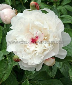 PAEONIA DOUBLE 'FESTIVA MAXIMA' 3/5 EYE (25 P.BAG)