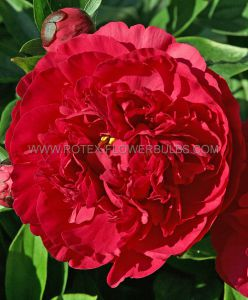 PAEONIA DOUBLE 'KANSAS' 3/5 EYE (25 P.BAG)