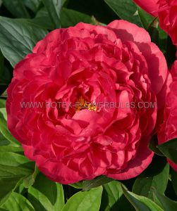 PAEONIA DOUBLE 'KARL ROSENFIELD' 2/3 EYE (10 PKGS.X 1)