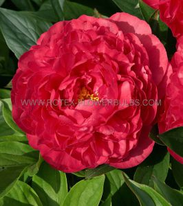 PAEONIA DOUBLE 'KARL ROSENFIELD' 2/3 EYE (25 P.OPEN TOP BOX)