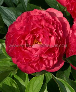 PAEONIA DOUBLE 'KARL ROSENFIELD' 3/5 EYE (25 P.BAG)