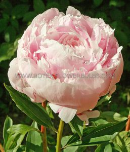 PAEONIA DOUBLE 'LADY ALEXANDER DUFF' 3/5 EYE (25 P.BAG)