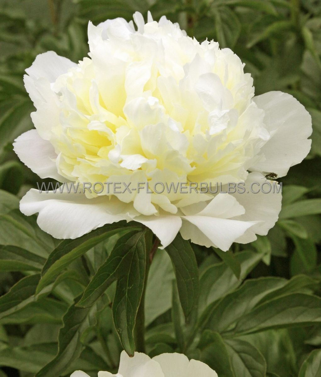 paeonia double laura dessert 23 eye 25 pbag