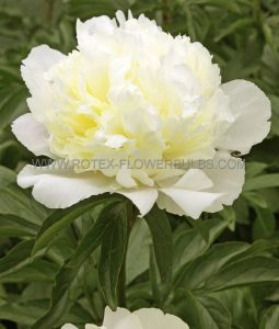 PAEONIA DOUBLE 'LAURA DESSERT' 2/3 EYE (25 P.BAG)