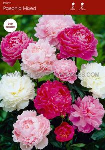 PAEONIA DOUBLE 'MIX' 2/3 EYE (25 P.OPEN TOP BOX)
