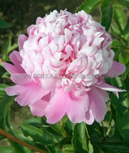 PAEONIA DOUBLE 'MONSIEUR JULES ELIE' 2/3 EYE (25 P.BAG)