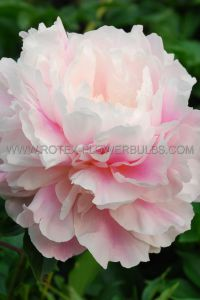 PAEONIA DOUBLE 'MORNING KISS' 2/3 EYE (25 P.BAG)