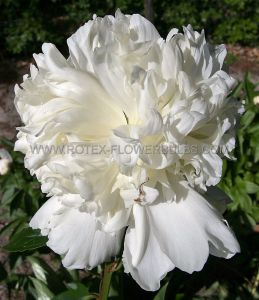 PAEONIA DOUBLE OFFICINALIS 'ALBA PLENA' 2/3 EYE (25 P.BAG)