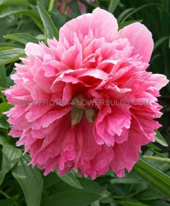 PAEONIA DOUBLE OFFICINALIS 'ROSEA PLENA' 2/3 EYE (25 P.BAG)