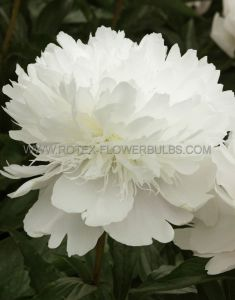 PAEONIA DOUBLE 'PECHER' 2/3 EYE (25 P.BAG)