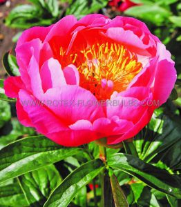 PAEONIA DOUBLE 'PINK HAWAIIAN CORAL' 2/3 EYE (25 P.BAG)