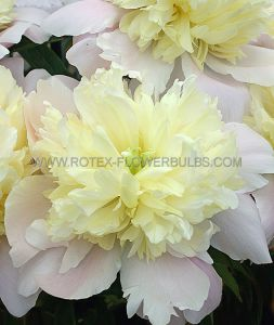 PAEONIA DOUBLE 'PRIMEVERE' 2/3 EYE (25 P.BAG)