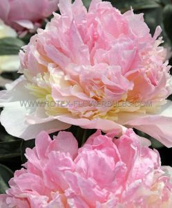 PAEONIA DOUBLE 'RASPBERRY SUNDAE' 2/3 EYE (25 P.BAG)