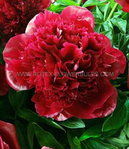 PAEONIA DOUBLE 'RED CHARM' 2/3 EYE (25 P.BAG)