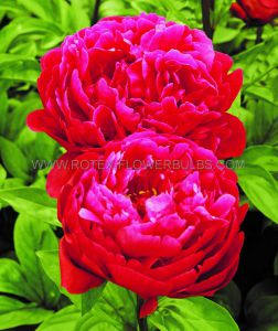 PAEONIA DOUBLE 'RED SARAH BERNHARDT' 2/3 EYE (25 P.BAG)