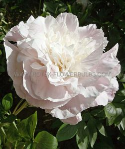PAEONIA DOUBLE 'SHIRLEY TEMPLE' 2/3 EYE (25 P.OPEN TOP BOX)