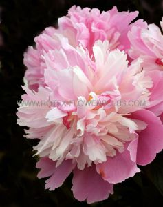 PAEONIA DOUBLE 'SORBET' 2/3 EYE (25 P.BAG)